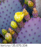 Santa Rita Pricly Pear cactus ( Opuntia santarita), with newly emerged buds and flowers with immature spines and bright purple and green coloring. Sonoran Desert, Arizona. Стоковое фото, фотограф Jack Dykinga / Nature Picture Library / Фотобанк Лори
