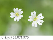 Greater Stitchwort (Rabelera holostea) flowers formerly Stellaria... Стоковое фото, фотограф Craig Joiner / age Fotostock / Фотобанк Лори