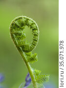 A young frond of a fern unfurling in spring in the Mendip Hills, ... Стоковое фото, фотограф Craig Joiner / age Fotostock / Фотобанк Лори