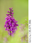 Early Purple Orchid (Orchis mascula) in flower during spring at Velvet... Стоковое фото, фотограф Craig Joiner / age Fotostock / Фотобанк Лори