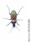 RF - Ground beetle (Carabus nitens). Dwingelderveld National Park... Стоковое фото, фотограф Edwin Giesbers / Nature Picture Library / Фотобанк Лори