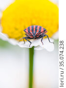 Stink bug (Graphosoma lineatum) on Daisy flower. The Netherlands. June. Стоковое фото, фотограф Edwin Giesbers / Nature Picture Library / Фотобанк Лори