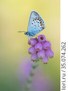 Silver-studded blue butterfly (Plebejus argus) resting on Cross-leaved heath (Erica tetralix). The Netherlands. July. Стоковое фото, фотограф Edwin Giesbers / Nature Picture Library / Фотобанк Лори