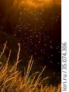Buzzer midge (Chironomus plumosus) swarm above grasses, in evening light. The Netherlands. July. Стоковое фото, фотограф Edwin Giesbers / Nature Picture Library / Фотобанк Лори