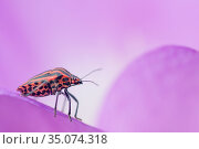 Stink bug (Graphosoma lineatum). The Netherlands. September. Стоковое фото, фотограф Edwin Giesbers / Nature Picture Library / Фотобанк Лори