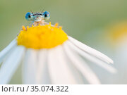RF - White-legged damselfly (Platycnemis pennipes) peering over Oxeye daisy (Leucanthemum vulgare) flower. The Netherlands. August. (This image may be... Стоковое фото, фотограф Edwin Giesbers / Nature Picture Library / Фотобанк Лори