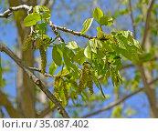 Цветение лапины ясенелистной (Pterocarya fraxinifolia) Стоковое фото, фотограф Ирина Борсученко / Фотобанк Лори