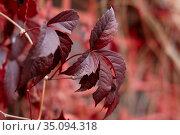 Red leaves in autumn. Стоковое фото, фотограф Азат Хайрутдинов / Фотобанк Лори
