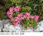 Hairy alpenrose (Rhododendron hirsutum), at 2200m. Valparola Pass, near Cortina, Dolomites, Belluno, Italy. July. Стоковое фото, фотограф Paul  Harcourt Davies / Nature Picture Library / Фотобанк Лори