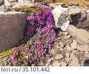 Purple saxifrage (Saxifraga oppositifolia) flowers cascading across rocks. The Sella, Dolomites, Italy. June. Стоковое фото, фотограф Paul  Harcourt Davies / Nature Picture Library / Фотобанк Лори