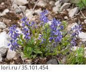 Mountain milkwort (Polygala alpestris). Dolomites, Italy. June. Стоковое фото, фотограф Paul  Harcourt Davies / Nature Picture Library / Фотобанк Лори