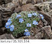 King of the Alps (Eritrichium nanum) amongst rocks at 2700m. Ciampei, Trentino-Alto Adige, Dolomites, Italy. July. Стоковое фото, фотограф Paul  Harcourt Davies / Nature Picture Library / Фотобанк Лори