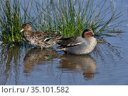 Eurasian teal (Anas crecca) foraging, in water. Le Teich, Gironde, France, March. Стоковое фото, фотограф Loic Poidevin / Nature Picture Library / Фотобанк Лори
