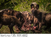 African wild dogs (Lycaon pictus) feed on a waterbuck in Gorongosa... Стоковое фото, фотограф Jen Guyton / Nature Picture Library / Фотобанк Лори