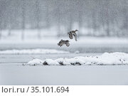 Eurasian teal (Anas crecca) two in flight in snowfall Sweden. Стоковое фото, фотограф Eric  Medard / Nature Picture Library / Фотобанк Лори