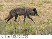 Gray Wolf (Canis lupus). Yellowstone National Park, Wyoming, USA. May. Стоковое фото, фотограф George Sanker / Nature Picture Library / Фотобанк Лори