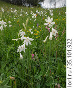 St Bruno's lily (Paradisea liliastrum) in alpine meadow. Dolomites, Italy. June. Стоковое фото, фотограф Paul  Harcourt Davies / Nature Picture Library / Фотобанк Лори
