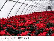 Plantation of bright red poinsettia flowers in a greenhouse on a winter day. Стоковое фото, фотограф Евгений Харитонов / Фотобанк Лори