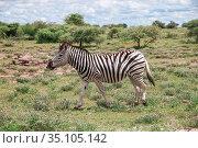 Zebra. Стоковое фото, фотограф Art Konovalov / Фотобанк Лори