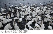 Дикие лебеди-кликуны на кормежке на озере Светлое в Алтайском крае зимой, Россия. Стоковое видео, видеограф Наталья Волкова / Фотобанк Лори
