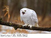 Белая сова или полярная сова (Bubo scandiacus, Nyctea scandiaca) Стоковое фото, фотограф Роман Рожков / Фотобанк Лори
