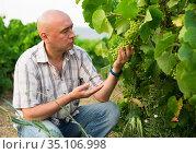 Man proffesional winemaker working clusters of grape in vineyard. Стоковое фото, фотограф Яков Филимонов / Фотобанк Лори