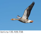 Greylag goose (Anser anser) flying against a blue sky, Gloucestershire, UK, February. Стоковое фото, фотограф Nick Upton / Nature Picture Library / Фотобанк Лори