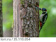 Great Spotted Woodpecker (Dendrocopos major) feeding mate at nest in tree trunk, France. Стоковое фото, фотограф Fabrice Cahez / Nature Picture Library / Фотобанк Лори