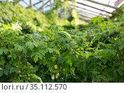 Rows of bitter cucumber. Стоковое фото, фотограф Яков Филимонов / Фотобанк Лори