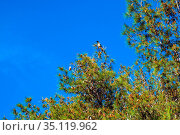 Single Eurasian Magpie bird - latin Pica pica - known also as Common... Редакционное фото, фотограф bialorucki bernard / age Fotostock / Фотобанк Лори