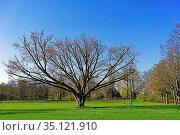 Stadtpark, Baum, Frühling. Стоковое фото, фотограф Bernd J. W. Fiedler / age Fotostock / Фотобанк Лори