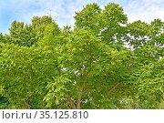 Орех айлантолистный (Орех Зибольда) (Juglans ailantifolia Carriere). Крона дерева. Стоковое фото, фотограф Ирина Борсученко / Фотобанк Лори