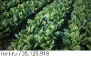 Image of harvest of spinach in field in garden outdoor, no people. Стоковое видео, видеограф Яков Филимонов / Фотобанк Лори