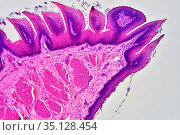 Filiform papillae in a tongue longitudinal section. X75 at 10 cm wide. Стоковое фото, фотограф J M Barres / age Fotostock / Фотобанк Лори