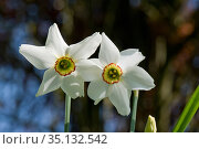 Old pheasant's eye (Narcissus poeticus var. recurvus) flowers, division 13 daffodil with white perianth and yellow and red corona, Berkshire, England, UK, April. Стоковое фото, фотограф Nigel Cattlin / Nature Picture Library / Фотобанк Лори
