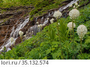 Bear grass (Xerophyllum tenax) on mountainside, waterfalls in background. Logan Pass, Glacier National Park, Montana, USA. July 2009. Стоковое фото, фотограф Jeff Foott / Nature Picture Library / Фотобанк Лори