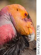 California condor (Gymnogyps californianus) preening, portrait. Near San Pedro Martir National Park, Northern Baja California, Mexico. Стоковое фото, фотограф Jeff Foott / Nature Picture Library / Фотобанк Лори