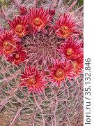 Fire barrel cactus (Ferocactus gracilis) flowering. Mission San Borja road, Baja California, Mexico. March. Стоковое фото, фотограф Jeff Foott / Nature Picture Library / Фотобанк Лори
