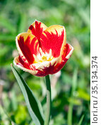 Tulip Triumph during flowering with water drops on the petals. Стоковое фото, фотограф Олег Елагин / Фотобанк Лори