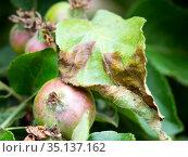 Скрученные и почерневшие листья на яблоне. Стоковое фото, фотограф Вячеслав Палес / Фотобанк Лори