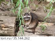 Raccoon. Стоковое фото, фотограф Юлия Бабкина / Фотобанк Лори