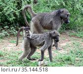 Family of baboon monkeys moves across the Savannah (2009 год). Стоковое фото, фотограф Олег Елагин / Фотобанк Лори