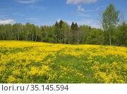 Пейзаж с цветущим рапсом и одуванчиками на фоне леса. Стоковое фото, фотограф Елена Коромыслова / Фотобанк Лори