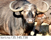 Young male African Buffalo looking at the camera (2010 год). Стоковое фото, фотограф Олег Елагин / Фотобанк Лори
