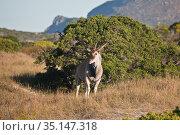 Bull Eland grazing in the Bush of South Africa (2017 год). Редакционное фото, фотограф Олег Елагин / Фотобанк Лори