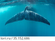 Tail of Blue whale (Balaenoptera musculus brevicauda). This may be... Стоковое фото, фотограф Franco Banfi / Nature Picture Library / Фотобанк Лори