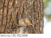 Palm squirrel (Funambulus palmarum) feeding on orange skin left from tourist. Yala National Park, Southern Province, Sri Lanka. Стоковое фото, фотограф Franco Banfi / Nature Picture Library / Фотобанк Лори