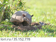 Six-banded armadillo (Euphractus sexcinctus) out of its burrow in a livestock farm, Pantanal, Mato Grosso do Sul, Brazil, Стоковое фото, фотограф David Perpinan / Nature Picture Library / Фотобанк Лори