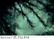 Horror concept silhouette of a larch branch, a gnarled coniferous tree against the background of an eerie mystical blue green sky in a strange ghostly moonlight with dark shadows. Стоковое фото, фотограф Светлана Евграфова / Фотобанк Лори