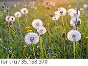 Seedhead of dandelions (Taraxacum), Eure-et-Loir department, Centre... Стоковое фото, фотограф Christian Goupi / age Fotostock / Фотобанк Лори